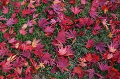 Background of fallen red Japanese maple leaves in autumn Royalty Free Stock Photos