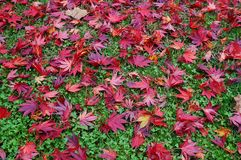 Background of fallen red Japanese maple leaves in autumn Stock Photo