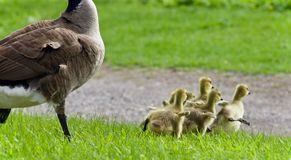 Background with a family of Canada geese running Royalty Free Stock Photography