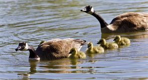 Image of a family of Canada geese swimming. Background with a family of Canada geese swimming Stock Photography