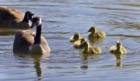 Background with a family of Canada geese swimming. Photo of a family of Canada geese swimming royalty free stock images