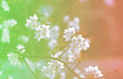 Background Famous Flowers Japanese Sakura Cherry Blossom royalty free stock photos