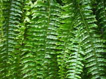 Background Of Fern Fronds Stock Photos