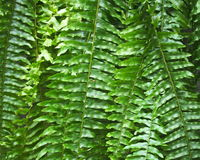 Background Of Fern Fronds Stock Image