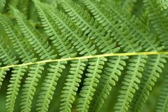Fern leaves. Background: fern leaves close-up Royalty Free Stock Photography
