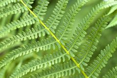 Fern leaves. Background: fern leaves close-up Stock Photos