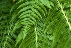 Fern leaves. Background: fern leaves close-up Stock Photography