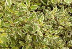 Background of ficus leaves in the garden Stock Photos