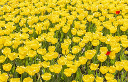 Background field covered with yellow tulips at Tulip Festival Royalty Free Stock Images