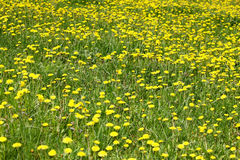 Background with field of dandelion. Stock Photos