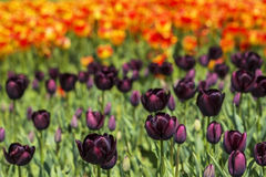 Background field flower bed of blooming dark purple and bright orange tulips on the flower festival Stock Photos