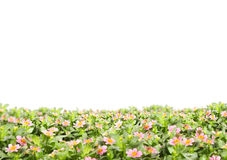 Background field the flowers Royalty Free Stock Photos