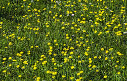 Background. Field with grass and young dandelions Royalty Free Stock Photos