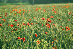 Background Field with green shoots of grain and poppy flowers Stock Photo