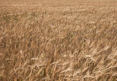 Background from a field sowed by a rye Stock Photography