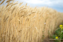 Background. A field of wheat Stock Photo