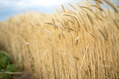 Background. A field of the wheat Royalty Free Stock Photos