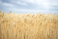 Background. A field of wheat and blue sky Royalty Free Stock Photos