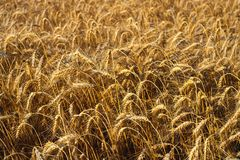 Background from a field of yellow ripened wheat in the rays of the setting sun royalty free stock photos