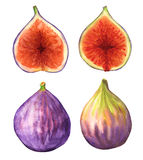 Background with figs. Figs isolated on white background. Hand-drawn watercolor painting Stock Photos