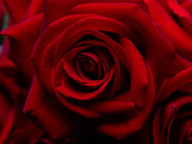 Background from  fine red roses. Stock Photos