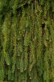 Background of fir branches. Green natural texture Stock Photo