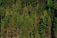 Background fir forestgreen texture Stock Photos