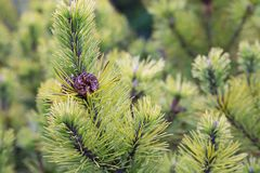 Background of fir tree with pine cone stock image