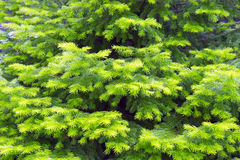 Background of the fir trees branches. Background of the branches of fir trees royalty free stock photo