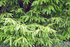 Background of the fir trees branches. Background of the branches of fir trees Stock Images