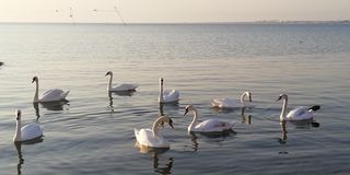 Background. A flock of royal swans resting on the calm surface of the sea stock photos