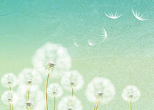Background with flower dandelion Stock Photos