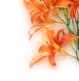 Background from the flower of lily Royalty Free Stock Image