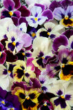 Background from flower pansy Royalty Free Stock Images