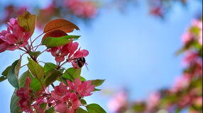 Background. Flowering branch of apple-tree on a blue sky. Stock Image