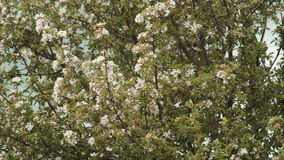 Background of flowering branches of Apple trees. stock video