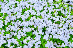 Background of flowering Royalty Free Stock Photo