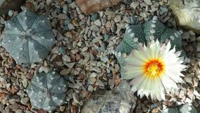Cacti with white flower. Top view. Royalty Free Stock Photography