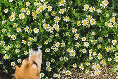 Background of flowering daisies. And beagle dog smelling. Leucanthemum vulgare. Garden stock image