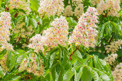 Background of flowering horse-chestnut among the leaves Royalty Free Stock Photos