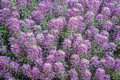 Background of flowering labularia shrub Stock Photography