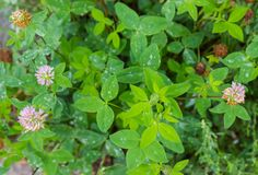 Background of the flowering red clover royalty free stock photos