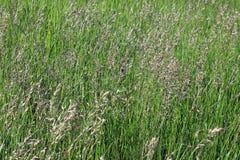 Background of flowering weeds Stock Photo