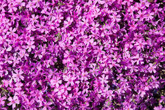 Background of flowers. Phloxes. Garden plants Royalty Free Stock Photos