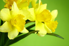 Background with flowers. The green background with daffodils Royalty Free Stock Images