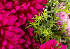 Background with flowers asters Stock Photography