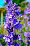 Background flowers bellflower Royalty Free Stock Photography