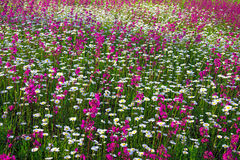 Background from flowers blossoming on a meadow Royalty Free Stock Images