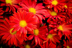 Background, flowers. Background with bright red flowers royalty free stock images