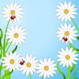 Background with the flowers of camomile and ladybirds Stock Photography